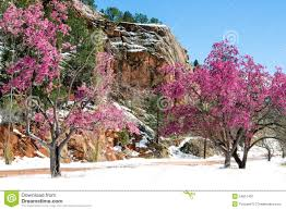 blossom trees cherry blossom trees at red rock canyon open space colorado spri