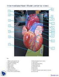 Anatomy Of Human Heart Pdf Anterior View Of Intermediate Heart Model Human Anatomy