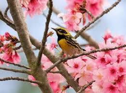 flowers on birds in cherry blossom tree