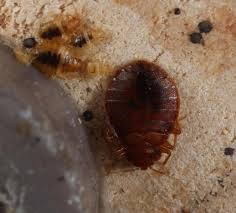 Bed Bug Home Remedies Beautiful How To Kill Bed Bugs Home Remedies On Pics Photos How To