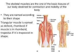 Basic Shoulder Anatomy General Anatomy Of Muscle