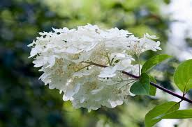 White Hydrangeas Guide To Identifying Types Of Old Fashioned Hydrangea