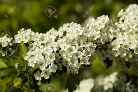 Trees With White Flowers Hawthorn Tree With White Flowers On Branch Stock Photo Picture