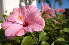 What Is The Meaning Of The Hibiscus Flower - classification of hibiscus sinensis hunker