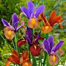 dutch iris bulbs for sale online u2013 easy to grow bulbs
