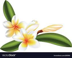 plumeria flower frangipani or plumeria flower royalty free vector image