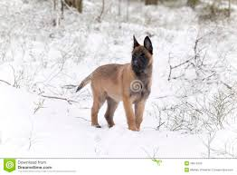 belgian sheepdog gifts malinois in the snow royalty free stock photography image 12693967