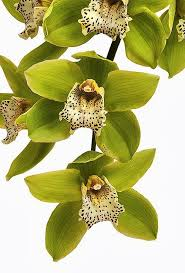 Flower Orchid Best 25 Orchids Ideas On Pinterest Orchid Plant Care Orchid