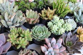 plant wedding favors wedding succulents succulent wedding favors succulents for sale