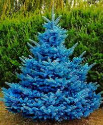 blue spruce trees blue spruce trees bonsai blue spruce seeds picea pungens seeds 30