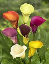 cala lilies 5 bulbs mixed calla flowering plants garden