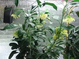 hoya multiflora vermont hoyas