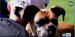 rescue a boxer dog family pays vet to euthanize their boxer then find her at a rescue
