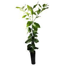 shop fruit plants at lowes com