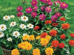 23 best profusion images on zinnias garden ideas and