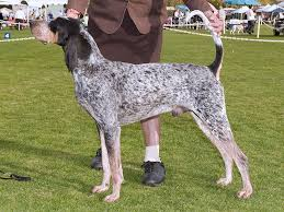 bluetick coonhound smokey bluetick coonhound dog spotters