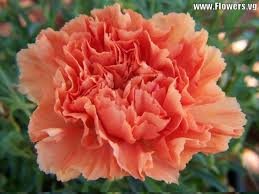 Birth Flower Of January - flowers january birth flower carnations images what is tattoo