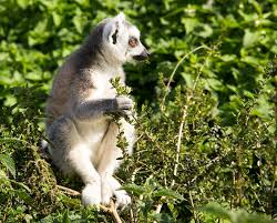 free photo lemur animal wild madagascar free image