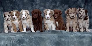 australian shepherd and beagle mix australian shepherd lab mix wallpaper