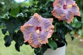 13 flowering vines for year round color hgtv