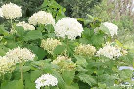 Hydrangea by Hydrangea Arborescens U0027annabelle U0027 Care Planting Growing And