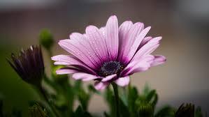 Flower Pictures Purple Petal Flower Free Stock Photo