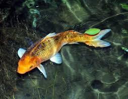 freshwater fish la vanille nature park freshwater fish
