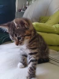 beautiful blueeyed bengal x tabby kittens for sale awwww