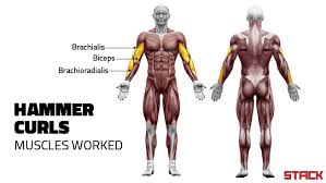 Shoulder And Arm Muscles Anatomy Why Hammer Curls Build Bigger Arms Stack