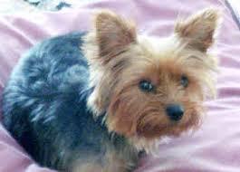 silky terrier hair cut silky terrier google search gigi s next haircut stuff for gigi