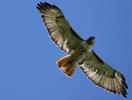 what does wood symbolize hawk symbolism hawk meaning hawk dreams hawk totem