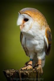Barn Owl Photography Nige Burr Photography U0027s Portfolio On Picfair