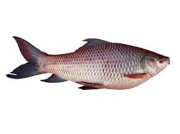 rui fish modern farming methods