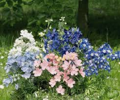 summer colors delphinium grandiflorum summer colors perennial benary
