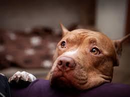 pitbull dog wallpapers wallpaper hd wallpapers pinterest dog