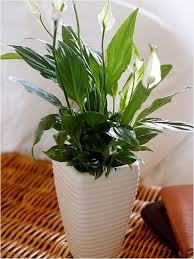 Tropical House Plants Names - peace lily picmia