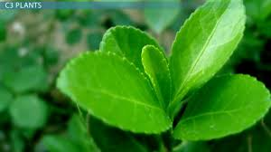 c3 plants definition types u0026 examples video u0026 lesson