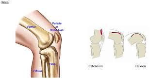 Knee Bony Anatomy Robodoc U003c Patients About Faqs
