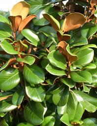 bracken brown magnolia leaf detail trees in