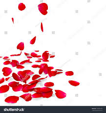 petals roses fall on floor isolated stock illustration 183080138