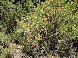 native plants adelaide nitraria billardierei wikipedia