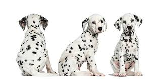dalmatian puppy pictures images stock photos istock