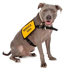 american pitbull terrier traits dangerous dogs part 2 myths and misconceptions from both pit bull