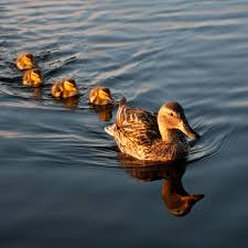 mallard family ducks hd ipad wallpapers outdoors shower