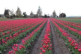 Skagit Valley Tulip Festival Bloom Map Tulips Are Blooming In Skagit Valley Oc 2 Seattle