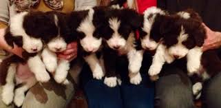 bearded collie adoption brown u0026 white bearded collie puppies for sale dingwall ross