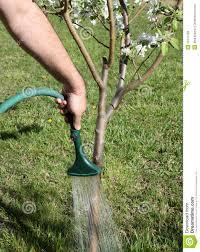watering tree stock image image of gardening apple 19147189