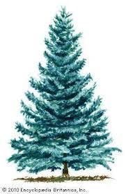 blue spruce blue spruce plant britannica