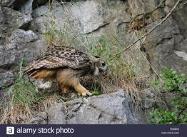 si e de pellet owl pellet immagini owl pellet fotos stock alamy