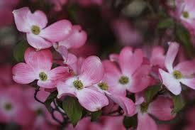 dogwood flowers pink dogwood flower dogwood flower pictures pink dogwood flowers
